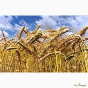 Пшеница 2кл. куплю!!! ДП