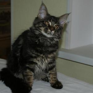 Предлагается котёнок породы Мэйн Кун,  девочка.