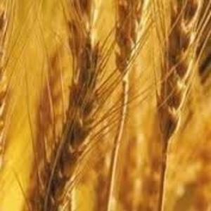 Закупаем все виды зерновых и масленичных культур